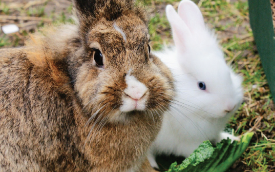 Radley from Johnson and Scott tells us all about Rabbits: How to keep your hopping companion happy and healthy