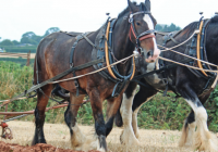 The Littleport Society's Roger Rudderham tells us about the Great Shire Horses of Littleport